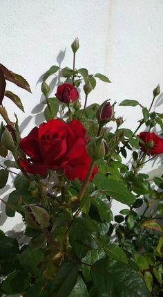 I love you *rose