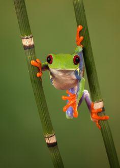 Hanging around--red-eyed tree frog