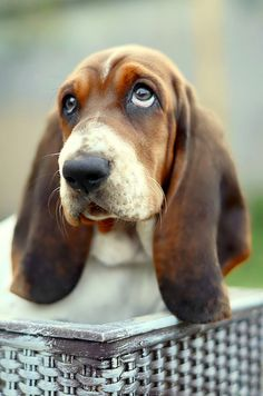 Bassett hound pup. My son wanted one of these, wish I'd have said yes.