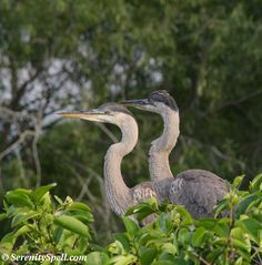 Great Blue Heron Juveniles at the Nest, Florida Wetlands
