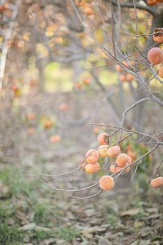 Persimmons I love pickin n cuttin these things open to see if they hav a spoon, knife, or fork! So much fun!