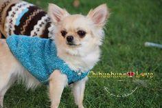 Chihuahuas Love - Combatir el Frio de Nuestros Chihuahuas, Ropa de Abrigo para Chihuahuas.