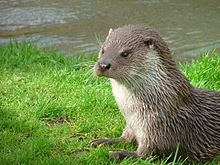 The Eurasian otter (Lutra lutra), also known as the European otter, Eurasian river otter, common otter, and Old World otter, is a semiaquatic mammal native to Eurasia. The most widely distributed member of the otter subfamily (Lutrinae) of the weasel family (Mustelidae), it is found in the waterways and coasts of Europe, many parts of Asia, and parts of northern Africa.