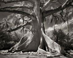 Fotógrafo passa 10 anos registrando as árvores mais antigas do mundo