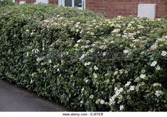 Here is Viburnum tinus being grown as a suburban hedge - is this what you have growing in your front garden?