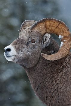 Bighorn sheep, while in Yellowstone National Park