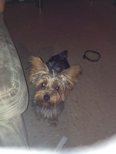 Fatty luv me some him great dog so happy n playful (Yorkie)