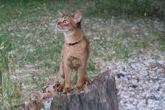 Raising Kittens, Cats And Kittens, Abyssinian Kittens, Cat Nutrition, Exotic Cats, Cat Feeding, Types Of Food, Cat Breeds, Dog Cat