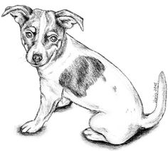 Bleistiftzeichnung meines Jack Russell Terriers Amy.