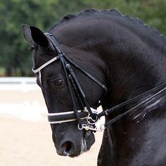 Totilas. Famous dressage horse.
