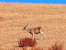 Shou / Tibetan red deer (Cervus canadensis affinis)