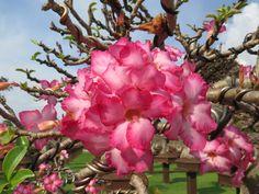 ชวนชม Adenium By Nongnooch Pattaya Tropical Botanical Garden.
