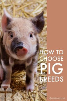 Pig Breeds: A Handy Guide to Choosing the Best - Reformation Acres Are you new to homesteading? This Little Piggy, Little Pigs, Guinea Pig Toys, Guinea Pigs, Pig Breeds, Pig Pen, Teacup Pigs, Showing Livestock, Pig Farming