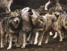 Gray Wolves--Petra Schmidt Shared Free Wolf Pack Photo