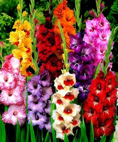 Gladiolas my favorite. Just wish they had a scent to them.