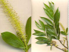 Salix humboldtiana. Sarandi.