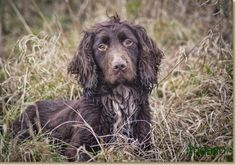 Clementwood Gun Dogs | Indago Dog Photography - The gorgeous Merlin (working cocker spaniel)