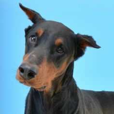The Elka Almanac: Jessie, with Illinois Doberman Rescue This beautiful boy is looking for his forever home.