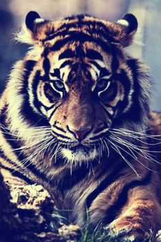 tiger is staring you down