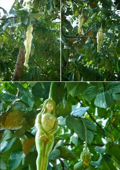 Narilatha flower that looks like a naked woman