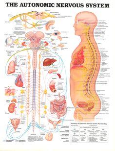 the autonomic nervous system | the-autonomic-nervous-system.jpg