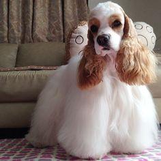 今日はティアラがトリミング中❤️ 迎えに行かなくっちゃ。 息子にちょっとの間、Rincaを頼みます #americancockerspaniel #アメリカンコッカースパニエル #cockerspaniel #愛犬 #dog