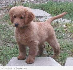 Full grown golden cocker retriever. they stay looking like puppies forever!