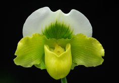 Slipper-orchid: Paphiopedilum Meadow-green 'Lime Frost' - Flickr - Photo Sharing!