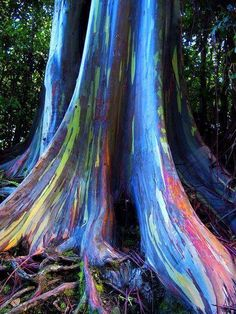 Rainbow Eucalyptus trees on Maui, Hawaii.  The phenomenon is caused by patches of bark peeling off at various times and the colors are indicators of age. A newly shed outer bark reveals bright greens which darken over time into blues and purples and then orange and red tones.