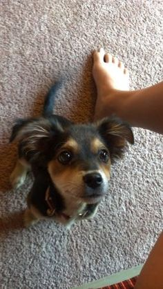 chihuahua border collie mix puppy. so adorable.