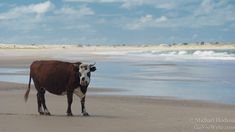 Cow grazing on the beach. http://www.goseewrite.com/2011/11/cabo-polonio-uruguay-photo-essay/