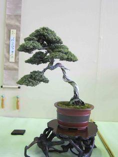 Meif-ten-bonsai show; root stand, unusual stripe pot- golden hued kanji scroll w/ tassels