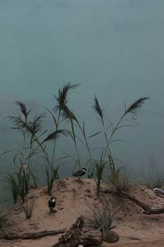 Giorgia Valli, Spur-winged Plover