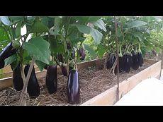 ▶ Выращивание баклажанов и перцев - YouTube