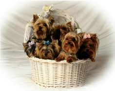 Image detail for -Yorkie Puppies For Sale In Texas Yorkie Puppy For Sale, Cute Puppies, Cute Dogs, Dogs And Puppies, Yorkie Puppies, Love My Dog, Teacup Yorkie, Little Dogs, Shih Tzu