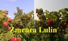 Arbuști fructiferi zmeur - mur - coacăz, ediția primăvară 2018 Plants, Plant, Planets
