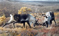 Tundra Challengers  (Carl Brenders)
