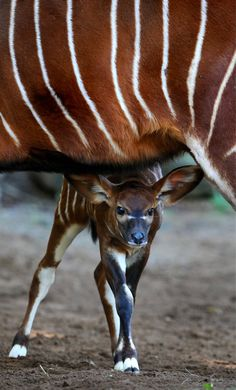 """A two week-old eastern Bongo calf looks out from under her mother at Sydney's Taronga zoo.Bongo are one of the largest species of antelope in the world and are recognised by their striking russet colour and large antlers which extend over their backs.""  Photograph: William West/AFP/Getty Images"
