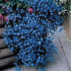 Fountain Blue Lobelia Seeds