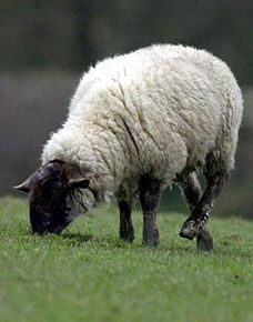 Sheep Pictures and Images