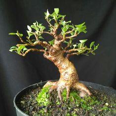 Bonsai Plants, Bonsai Garden, Bonsai Trees, Mame Bonsai, Plantas Bonsai, Miniature Trees, Tiny World, Ficus, Ancient Art