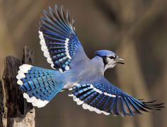 BLUE JAY in flight (Cyanocitta cristata) ©Jim Ridley The Blue Jay is a bird native to North America.