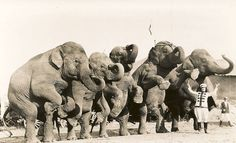 """Mable Gardner    """"Mable Gardner and performing elephants. Al G. Barnes Circus, 1924.  Taken by Walker Morris, Big Show Band."""""""