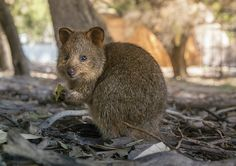 Cutes animal ever!  #quokka #rottnes #australia #animal #cute #baby #joe #cuteanimal