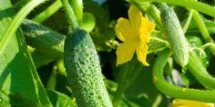 Výživa okurek: základ bohaté úrody