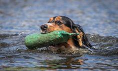 Gun dog at clay shoot #gundog #workingdog #dogs #spaniel #claypigeonshooting #swimming