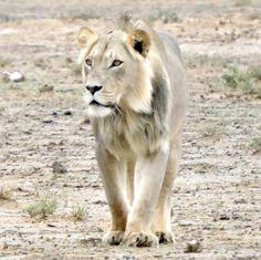 Enjoy Luxury African Safari Lodges in the Okavango Delta, a game reserve in Botswana - home to the world's best wildlife safaris and safari vacations Okavango Delta, Wildlife Safari, Game Reserve, African Safari, Wild Animals, Lodges, Animal Kingdom, Lion, Amazing