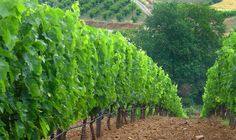 Wine Roads of Macedonia - Ligas Winery  #Macedonian #Wine #Macedonia #Wineries #Greek #vineyards #european #winetasting