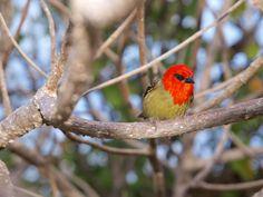 Le Cardinal de Madagascar  #bird #nature #mauritius #valleedeferney #explore #adventure #travel #wildlife