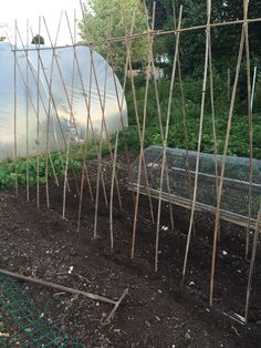 Bean poles in June 2015 ready ready for planting